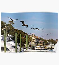Pelicans Abound Poster