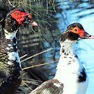Beautiful, Pair Of Loving, Muscovy Ducks.... by Toni Kane
