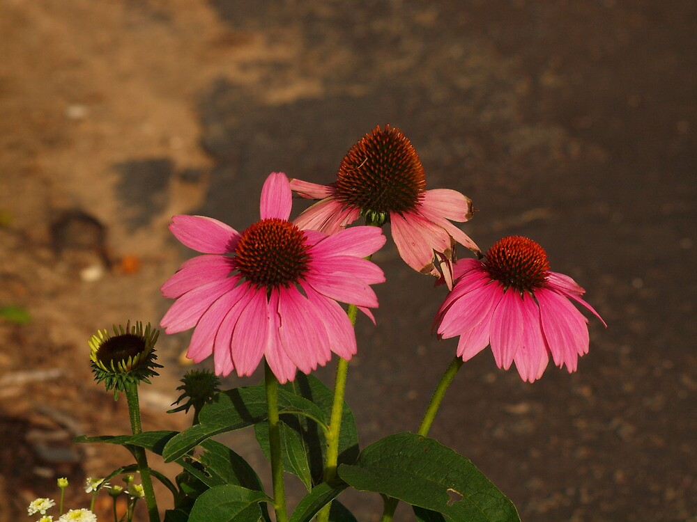 Sundown Lit Cone Flowers by SusanPotter1
