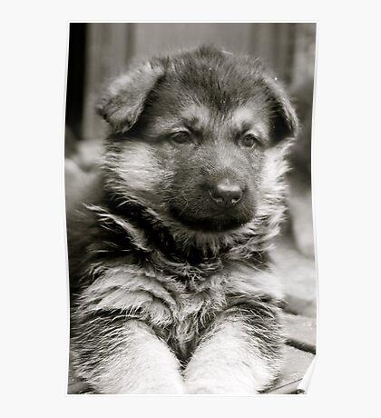 Sweet As Candy (German Shepherd Puppy) Poster