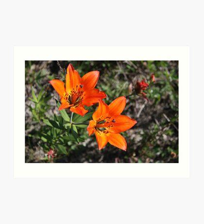 Rocky Mountain Lily Art Print