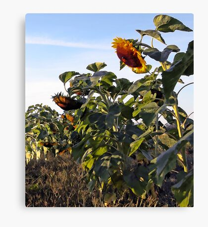 Sunflowers - Bowing Their Heads Canvas Print