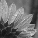 Sunflower B&W by elasita