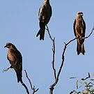 black kite trio by birdpics