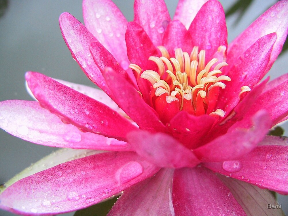 Pink Lily by Bami