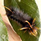 Caterpillar in Fancy Headdress Macro  by Cate Peterson