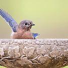 Bluebird Greeting by Bonnie T.  Barry