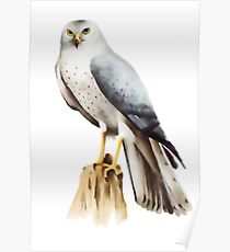 Northern Harrier (Circus cyaneus) Poster