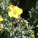 Shrubby Cinquefoil -Dasiphora floribunda (Potentilla fruticosa) by Leslie van de Ligt
