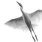 Grey egret  by aaronnaps