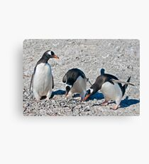 Auditioning for Mr Popper's Penguins Canvas Print