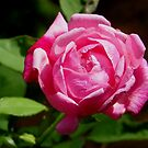 A Rose by Any Other Name.... by Judy Wanamaker