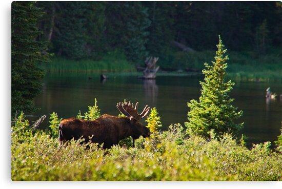 Moose At Brainard by John  De Bord Photography