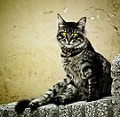 Street Cat in Istanbul III by Kutay Photography