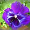 **Pansies** for **Gorgeous flower Cards** Challenge