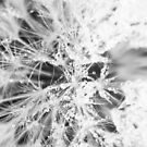 Dandelion, Close up. by PrettyKitty