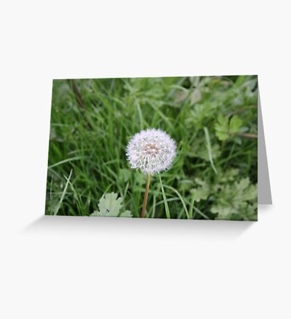Dandelion With All It Petals On  Greeting Card