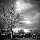 Silver Birches by Anthony Vella