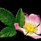 Alberta Wild Rose by Paddio