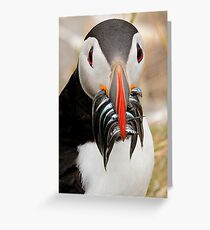 Puffin, Farnes Islands Northumberland. Greeting Card