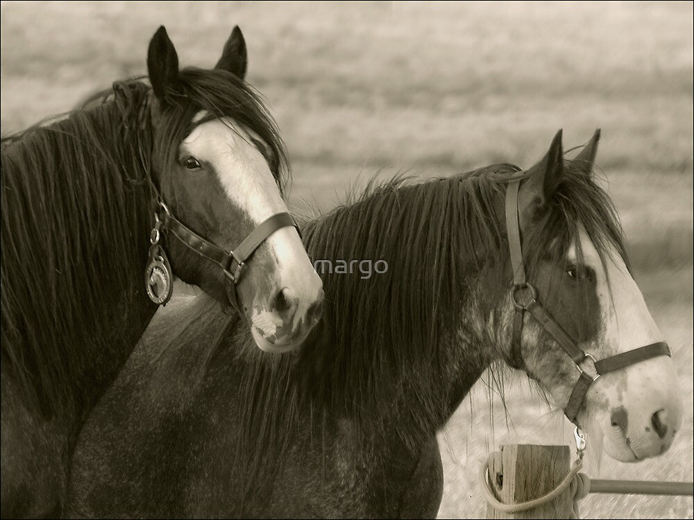 Clydesdale Couple by margo