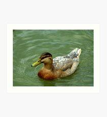 Duck swimming in the lake Art Print