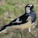 A Magpie-lark (Grallina Cyanoleuca)  by Toni Kane