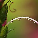 Drops on Stamen by KatsEyePhoto