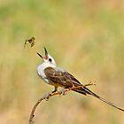 Scissor-tailed Flycatcher and Spider by photosbyjoe