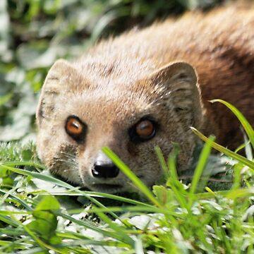 Mongoose by LisaRoberts