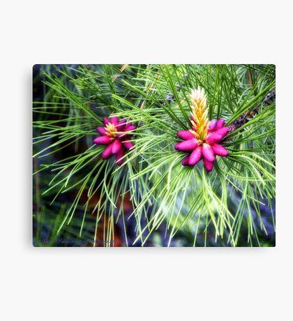 New Life (Ponderosa Pine) Canvas Print