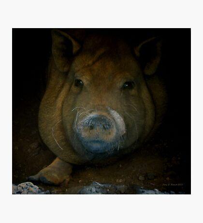 Pig Portrait Photographic Print