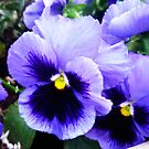 Pansy Profusion by Fay Hartwell