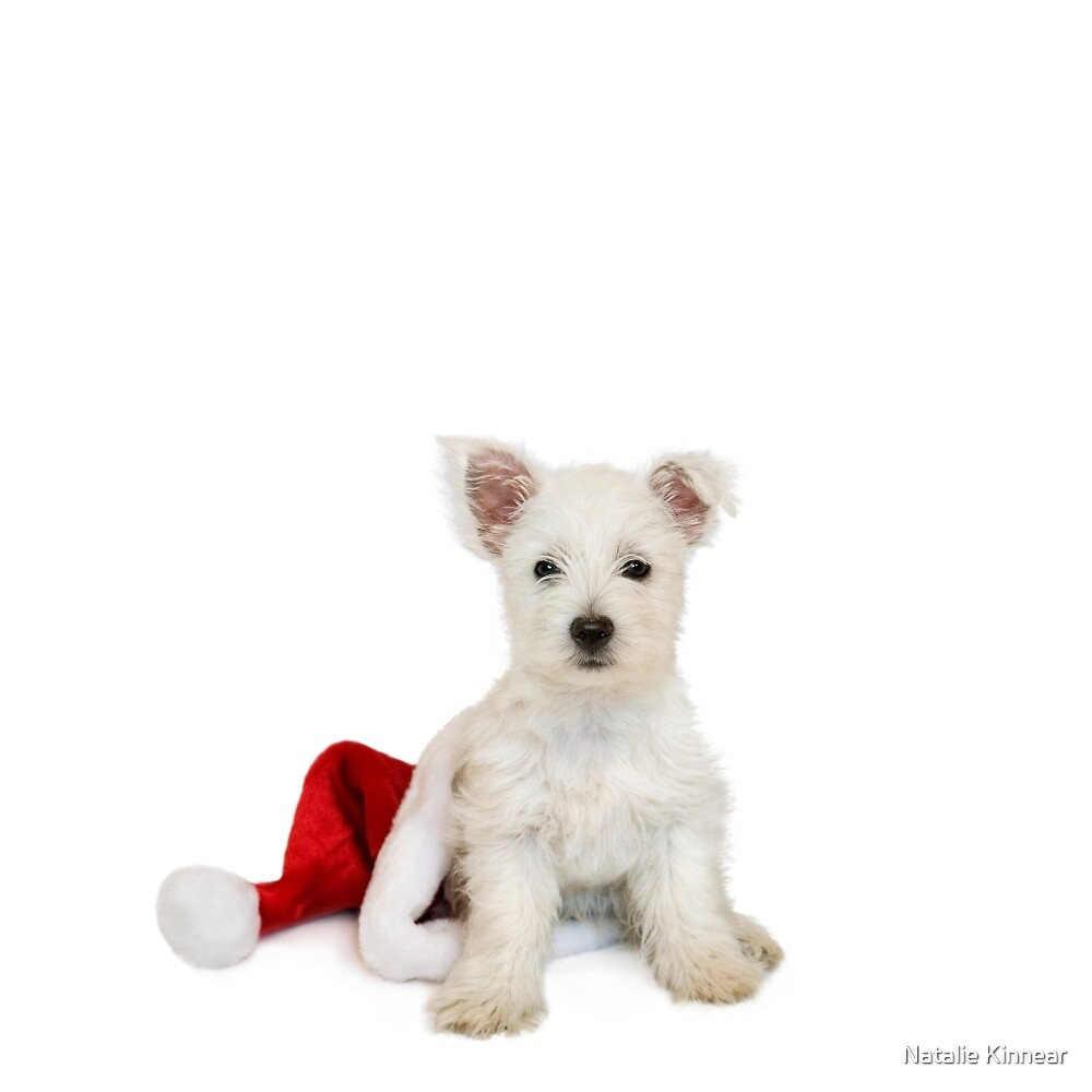 Westie Pup and Santa Hat by Natalie Kinnear