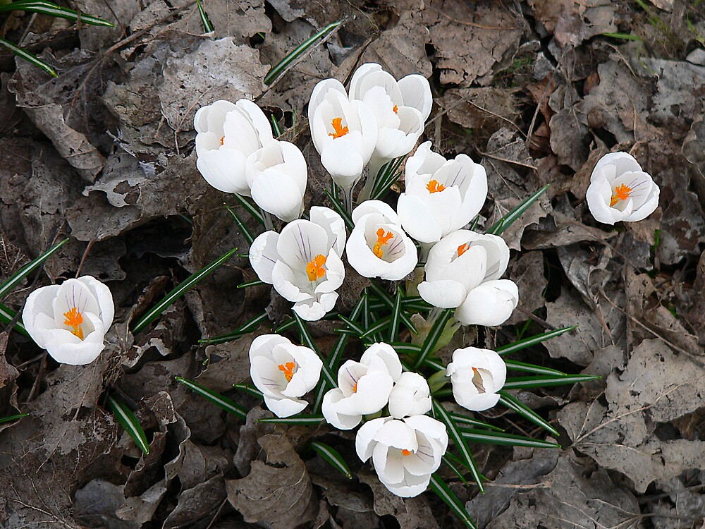 Springtime Crocus by Sharon Brown