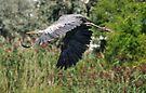 Heron in Flight by Elaine Manley