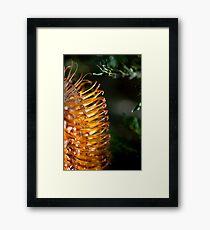 Banksia Bathed in Sunlight Framed Print