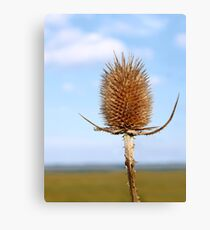 Inflorescence dry teasel Canvas Print