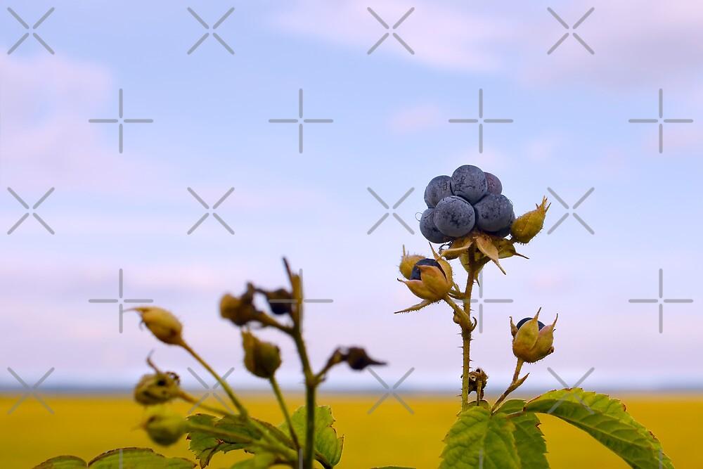 Bluish blackberries berries by qiiip