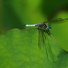 Blue Dragonfly  by Richard G Witham