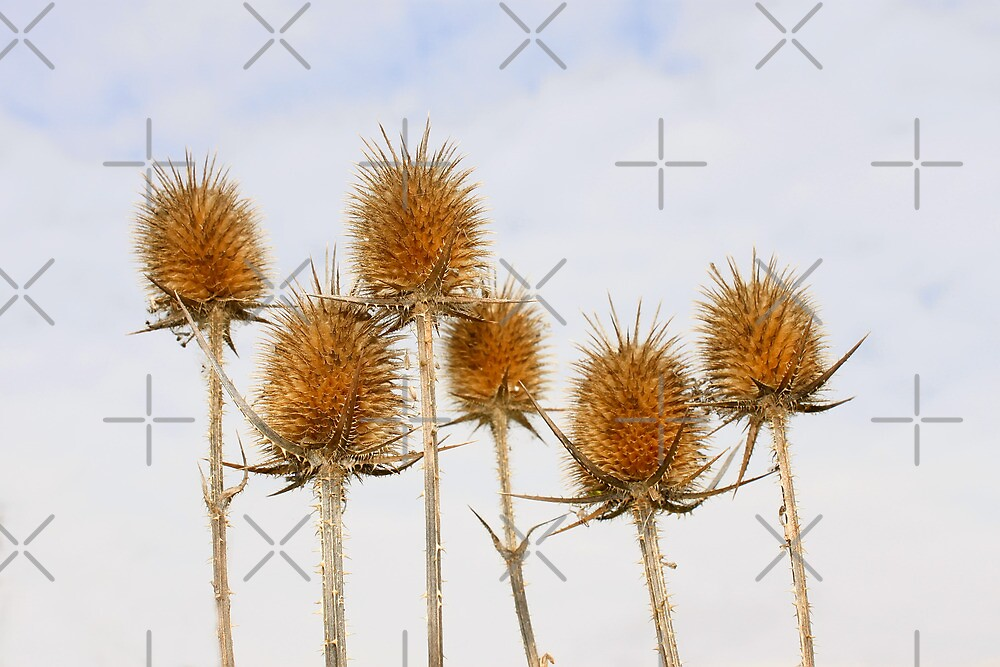 Dry inflorescences of teasel by qiiip