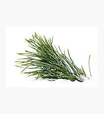 Green wet pine branch over white Photographic Print