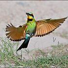 Rainbow Bee-eater 418 by John Van-Den-Broeke