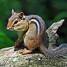 Chipmunk by Rodney Campbell