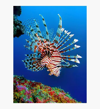 Lionfish at Apo Reef Photographic Print