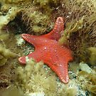 Brick-red Sea Star (Anthaster valvulatus) - Black Point, South Australia by Dan Monceaux