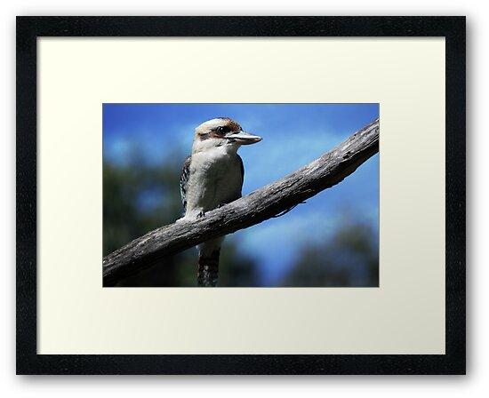 Kookaburra sitting in an old gum tree . . .  by yolanda