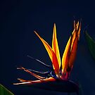 Golden Glow - Bird of Paradise by Jenny Dean