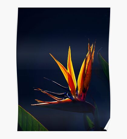 Golden Glow - Bird of Paradise Poster