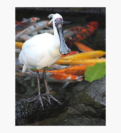 Spoonbill and Koi Photographic Print
